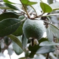 Feijoa sellowiana (Acca sellowiana) 2.