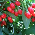 Lycium barbarum `Sweet Lifeberry` (Sweet Lifeberry Goji-bogyó)