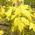Acer negundo `Kelly`s Gold` (Kelly`s Gold Box Elder Maple)