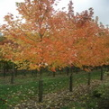Acer freemanii 'Celebration'