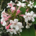 Abelia mosanensis (Korean Fragrant Abelia)