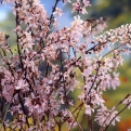 Abeliophyllum distichum `Roseum` (Pink Flowered Korean Forsythia)
