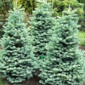 Abies lasiocarpa `Compacta` (Compacta Arizona Fir)