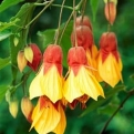 Abutilon `Kentish Belle` (Kentish Belle selyemmályva)