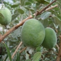 Acca sellowiana, Feijoa sellowiana `Coolidge`, K2 (Coolidge Pineapple Guava, K2)