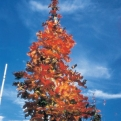 Acer campestre `William Caldwell` (William Caldwell oszlopos mezei juhar)