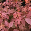 Acer negundo `Sensation` (Sensation Box Elder Maple)