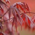 Acer palmatum `Atropurpureum` (Red Japanese Maple)