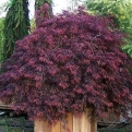 Acer palmatum `Inaba Shidare` (Dissected Japanese Maple, Inaba Shidare Dissected Japanese Maple)