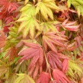 Acer palmatum `Moonrise` (Moonrise Japanese Maple)