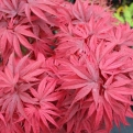 Acer palmatum `Pixie` (Pixie Dwarf Japanese Maple)