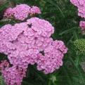 Achillea millefolium Apple Blossom (Apple Blossom Yarrow)