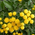 Ajania pacificum (Ajania pacifica) `Gold and Silver` (Japanese Gold and Silver Chrisanthemum)