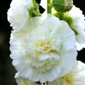 Alcea rosea `Chaters Double White` (Chaters Double White kerti mályvarózsa)