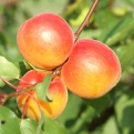 Armeniaca vulgaris `Sweet Red` (Sweet Red Apricot)