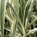 Arundo donax `Versicolor` (Striped Giant Reed, Variegated Spanish Reed)