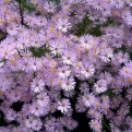 Aster ericoides `Pink Star` (Pink Star Aster)