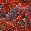 Berberis media `Red Jewel` (Red Jewel barberry)