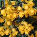 Berberis x stenophylla  (Stenophylla Hedge Barberry)