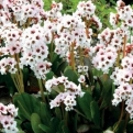 Bergenia `Dragonfly Angel Kiss` (Dragonfly Angel Kiss Bergenia)