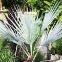 Brahea armata NAGY NÖVÉNY! (Mexican Blue Fan Palm BIG PLANT!)