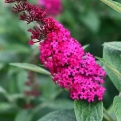 Buddleia `Miss Molly` (Miss Molly butterfly bush)