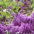Cercis siliquastrum 10 DB! (Judas Tree 10 plants!)