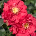 Chaenomeles speciosa `Pink Storm` (Pink Storm Flowering Quince)