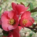Chaenomeles speciosa 10 db-os sövénycsomag! (Chinese Flowering Quince 10 Plants for Hedge!)