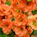 Chaenomeles superba `Orange Trail` (Orange Trail Japanese Quince)