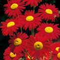 Chrysanthemum coccineum `Robinson`s Red` (Robinson`s Red Daisy)