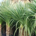 Cordyline indivisa (New Zealand Bush Flax)
