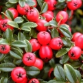 Cotoneaster x suecicus `Coral Beauty` (Coral Beauty Cotoneaster)