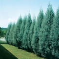 Cupressus arizonica 25 db! (Arizona Cypress 25 Plants!)