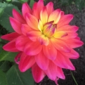 Dahlia `Red Purple Yellow` (Dália: Red Purple Yellow)