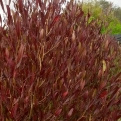Dodonea viscosa `Purpurea` (New Zealand Purple Hopseed Bush)