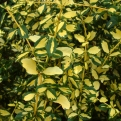 Euonymus fortunei `Blondy` (Blondy Wintercreeper)