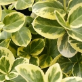 Euonymus fortunei `Canadale Gold` (Canadale Gold Wintercreeper)