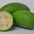 Acca sellowiana, Feijoa sellowiana `Apollo` K2 (Feijoa, Pineapple Guava: Apollo K2)