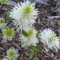 Fothergilla gardenii `Sea Spray` (Sea Spray amerikai bóbitacserje)