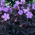 Geranium `Black Beauty` (Black Beauty gólyaorr)
