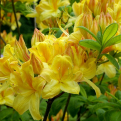 Azalea japonica `Golden Sunset` (Rhododendron) (Golden Sunset azálea)