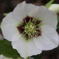 Helleborus orientalis `White Dark Center` (White Dark Center keleti hunyor)