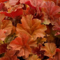 Heuchera `Northern Exposure Amber` (Northern Exposure Amber tűzeső)