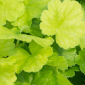 Heuchera `Northern Exposure Lime` (Northern Exposure Lime tűzeső)