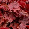 Heuchera `Northern Exposure Red` (Northern Exposure Red tűzeső)