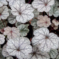 Heuchera `Northern Exposure Silver` (Northern Exposure Silver tűzeső)