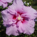 Hibiscus syriacus konténeres 6 db os csomag! (Rose of Sharon 6 Potted Plants! Discounted Package)