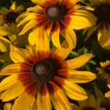 Rudbeckia `Big Love Smiley` (Big Love Smiley kúpvirág)