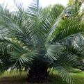 Jubaea chilensis K1,5 (Chilean Wine Palm K1,5)